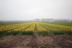 Daffodils w polu w terenie Lisse blisko do Keukenhof Obraz Stock