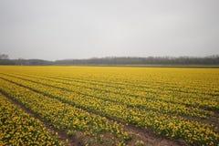 Daffodils w polu w terenie Lisse blisko do Keukenhof Obrazy Royalty Free