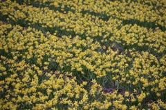 Daffodils w polu w terenie Lisse blisko do Keukenhof Zdjęcie Royalty Free