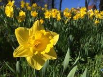 Daffodils w skłonie Fotografia Royalty Free