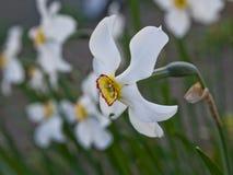 Daffodils w wiośnie Obrazy Royalty Free