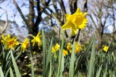 Daffodils w wiośnie Obraz Royalty Free