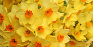 Daffodils wallpaper Royalty Free Stock Image