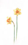 Daffodils Watercolor Painting Stock Image
