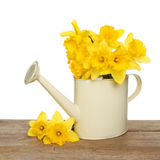 Daffodils in a watering can Royalty Free Stock Images
