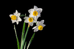 Daffodils wet. Wet narcissus flowers on a black background royalty free stock photo