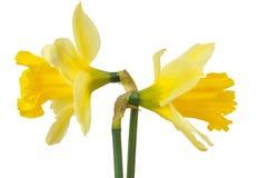 Daffodils on white Stock Photos