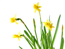 Daffodils on white Stock Photography