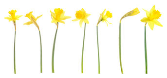 Daffodils on white background Stock Photo