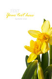 Daffodils on a white background. With sample text Royalty Free Stock Photo
