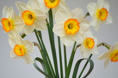 Daffodils  on a white background Royalty Free Stock Images