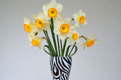 Daffodils  on a white background Royalty Free Stock Photos