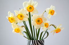 Daffodils  on a white background Stock Images