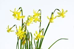 Daffodils on white background Stock Images