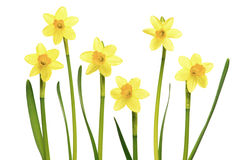 Daffodils on a white background. Several blooming daffodils narcissus flowers in a row isolated on a white background Stock Photo
