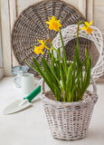 Daffodils in a white basket Stock Photography