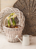 Daffodils in a white basket and a decorative watering can Stock Image