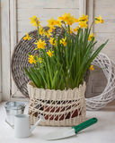 Daffodils in a white basket and a decorative watering can Stock Photography