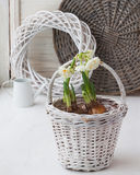 Daffodils in a white basket and a decorative watering can Royalty Free Stock Image