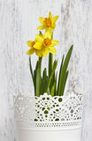 Daffodils in the white bucket Royalty Free Stock Photography