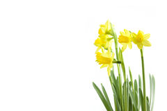 Daffodils with white copy space royalty free stock image
