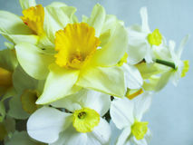 Daffodils - white and yellow spring flowers Stock Photo