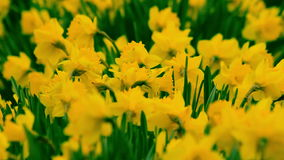 Daffodils in the wind stock video
