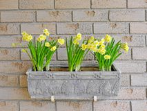 Daffodils in a window box Stock Images
