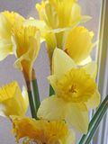 Daffodils at the window Royalty Free Stock Photos