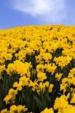 daffodils wiosna Fotografia Stock