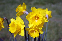 Daffodils in a wood Royalty Free Stock Photo
