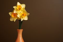 Daffodils in Wooden Vase. Three daffodils in a simple wooden vase on a brown background with space for text on the right side Stock Photos