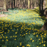 Daffodils in woodland Royalty Free Stock Image