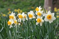 Daffodils in woodland Royalty Free Stock Photo