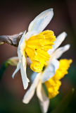 Daffodils yellow Stock Photo