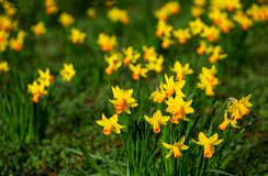 Yellow daffodils in bloom at springtime on a bright sunny day stock image