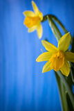 Daffodils. Royalty Free Stock Photography