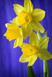 Daffodils. Royalty Free Stock Photos