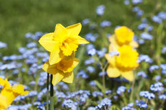 Daffodils - RAW format Royalty Free Stock Photography