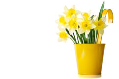 Daffodils in a yellow flowerpot royalty free stock photography