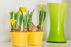 Daffodils in yellow flowerpots Royalty Free Stock Images