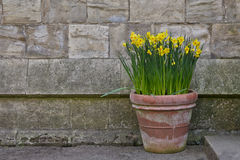 Daffodils. Yellow Daffodils in a Pot Stock Photos
