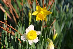 Daffodils. Yellow and White Daffodils in Grass Royalty Free Stock Photo