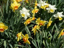 Daffodils. Yellow Daffodils and white and yellow Daffodils Stock Photography