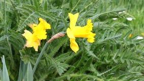 Daffodils. Yellow daffodils in the wind stock video footage
