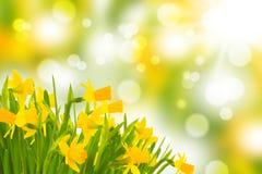 Daffodils z bokeh Obrazy Stock