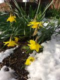 Daffodils z lodem i śniegiem, wiosna opad śniegu Zdjęcia Stock