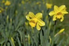 Daffodilsl σε έναν τομέα. Στοκ φωτογραφία με δικαίωμα ελεύθερης χρήσης