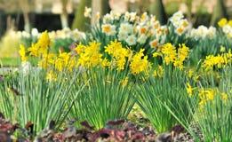 Daffogils bonitos na cama de flores Fotografia de Stock