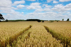 A field of wheat. Royalty Free Stock Images